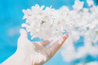 青空を背景に桜を触る女性の手の写真・画像素材[3067110]