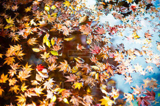 水面に浮かんでいる紅葉の写真・画像素材[3804512]