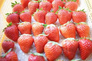 いちご狩り農場で収穫された大量のイチゴの写真・画像素材[3877972]