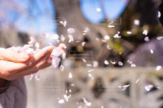 人の手から舞う桜の花びらの写真・画像素材[4306442]