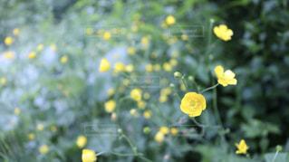 黄色い花の写真・画像素材[2271628]