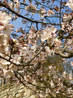 空,春,木,大阪,晴天,観光地,花見,樹木,お花見,イベント,大阪城,賑やか,観光スポット,草木,大阪観光,桜の花,さくら,ブルーム,ブロッサム,お花見シーズン,花盛り