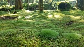 初夏に芽吹く 苔の新芽の写真・画像素材[2279755]