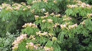 浜辺に咲く花 合歓木の白い綿毛の写真・画像素材[2279810]