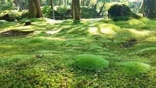 京都 西芳寺 苔の新芽の写真・画像素材[3142807]