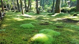 京都 西芳寺 苔の新芽の写真・画像素材[3142812]