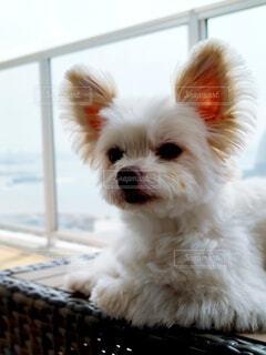 ベランダのベンチで眠くなる犬の写真・画像素材[4556873]