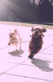 地面の上を飛び回る2匹の犬の写真・画像素材[4701886]