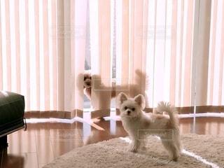 カーテンに隠れる犬とラグの上の犬の写真・画像素材[4701887]