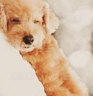ぐっすり眠る犬のクローズアップの写真・画像素材[4901369]