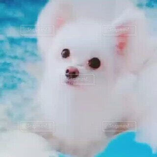 犬,空,動物,ピンク,白,かわいい,雲,ふわふわ,ペット,オシャレ,わんこ,癒し,可愛い,モフモフ,ブルー,お洒落,baby,Cute,White,素材,dogs,animal,イメージ,lovely,愛らしい,おしゃれ,ベッド,動画,白い犬,大きな耳