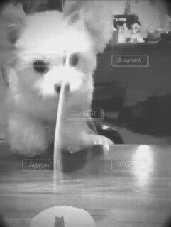 犬,動物,屋内,白,かわいい,モノクロ,白黒,オシャレ,モノトーン,可愛い,煙,けむり,線香,お洒落,実験,Cute,不思議,好奇心,dogs,アロマ,気になる,クンクン,小犬,Japanese,おしゃれ,動画,お香,戯れる,smoke,禅,aroma,匂いを嗅ぐ,副作用,検証,香り立つ,イメージ素材,嗅覚,動画素材,mokumoku,犬の嗅覚