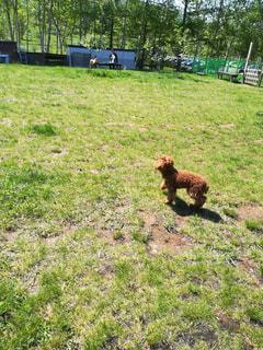 犬,芝生,晴れ,散歩,ドッグラン