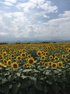 夏,屋外,太陽,ひまわり,綺麗,散歩,日光,爽やか,向日葵,元気,旅行,旅,可愛い,のんびり,夏空,ぶらり,空青空