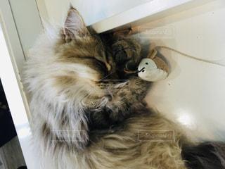 ふわふわ猫の寝顔の写真・画像素材[2280169]