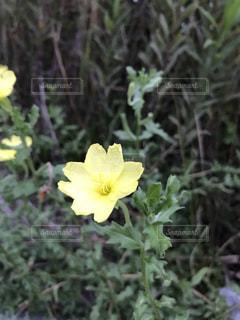 花,植物,夕方,田舎,月,道,気持ち良い,月見草