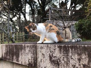猫,かわいい,散歩,生き物,境内,人懐こい