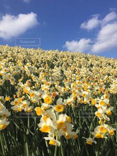 野原の黄色い花の写真・画像素材[2269117]