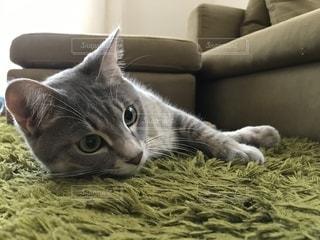 横になってカメラを見ている猫の写真・画像素材[2279956]