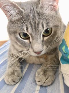 横になってカメラを見ている猫の写真・画像素材[2280018]
