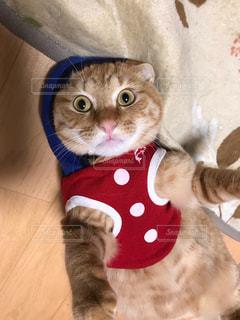 赤いネクタイを着た猫の写真・画像素材[2280698]