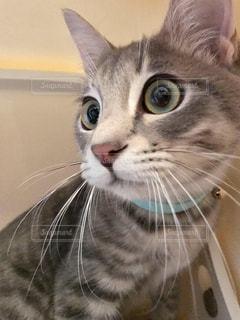 カメラを見ている猫の写真・画像素材[2281489]