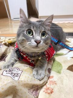 赤い毛布をかぶった猫の写真・画像素材[2291659]