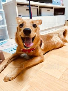 床に横たわる大きな茶色の犬の写真・画像素材[2328582]
