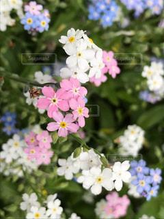 かわいい忘れな草の写真・画像素材[2342507]