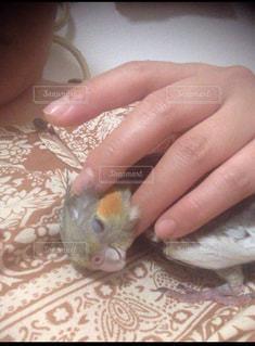 手の中の小さな愛鳥の写真・画像素材[2800617]