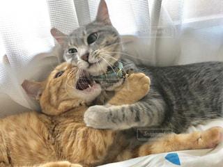 猫,動物,屋内,かわいい,仲良し,子猫,人物,キティ,ネコ,ネコ科の動物