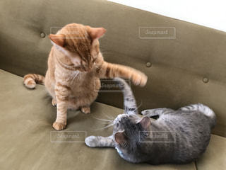 猫,動物,かわいい,ペット,ソファー,人物,キティ,ネコ