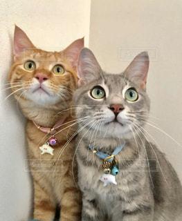 猫,動物,屋内,ペット,子猫,人物,座る,キティ,ネコ,ネコ科の動物