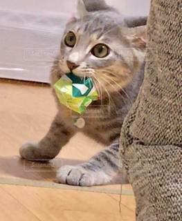 口を開けた猫の写真・画像素材[3354213]