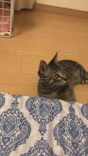 猫,かわいい,ねこ,ペット,子猫,生き物,ネコ,戯れる