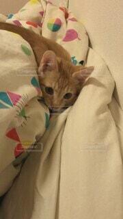猫,動物,屋内,かわいい,ねこ,ペット,子猫,生き物,ネコ,戯れる