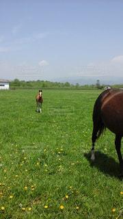 緑豊かな野原で放牧する牛の写真・画像素材[2273117]
