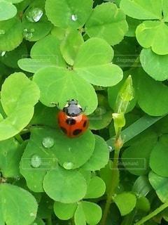 てんとう虫とクローバーの写真・画像素材[2301176]