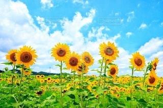自然,空,花,夏,屋外,緑,植物,ひまわり,白,カラフル,青空,青,散歩,黄色,景色,鮮やか,草,向日葵,元気,レジャー,お散歩,カラー,黄,ライフスタイル,おでかけ,草木,夏の花,ヒマワリ,イキイキ