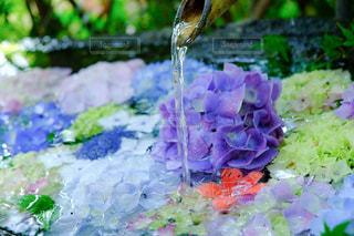 紫陽花の花手水の写真・画像素材[3386455]