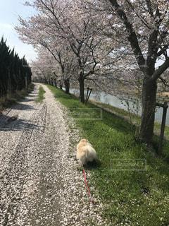犬,桜,ポメラニアン,白,かわいい,桜吹雪,お散歩