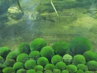 ふわふわの毬藻の写真・画像素材[2280019]