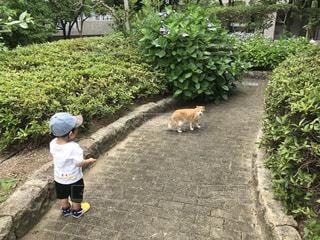 猫,動物,紫陽花,雨上がり,梅雨,散歩道,お散歩,ネコ,アジサイ