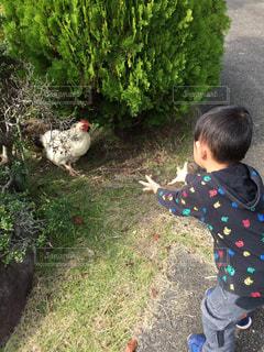 ニワトリ触れようとする男の子の写真・画像素材[2280553]