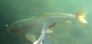 水の下を泳ぐ魚の写真・画像素材[2310015]