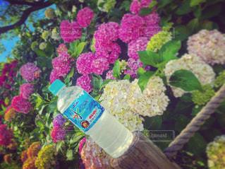 花,夏,綺麗,水,鮮やか,紫陽花,お散歩,晴れの日