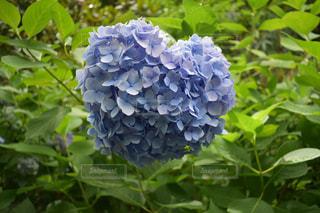 花,紫,ハート,紫陽花,写真