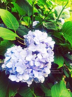 かわいい,紫,ハート,紫陽花,写真