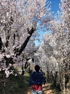 男性,花,春,人,草木,桜の花,さくら