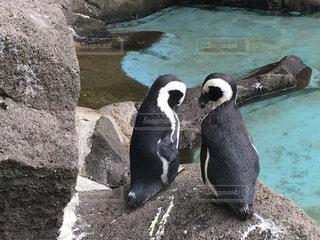 動物,鳥,水,黒,ペンギン,ハート,岩,ハートマーク,石,マーク,水鳥